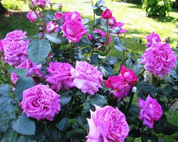 Роза шартрёз де парм отзывы